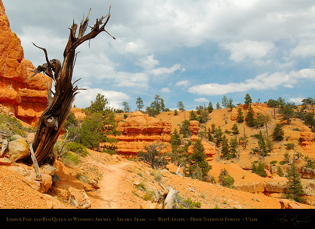 Red_Canyon_Limber_Pine_Red_Queen_Arches_Trail_X2312