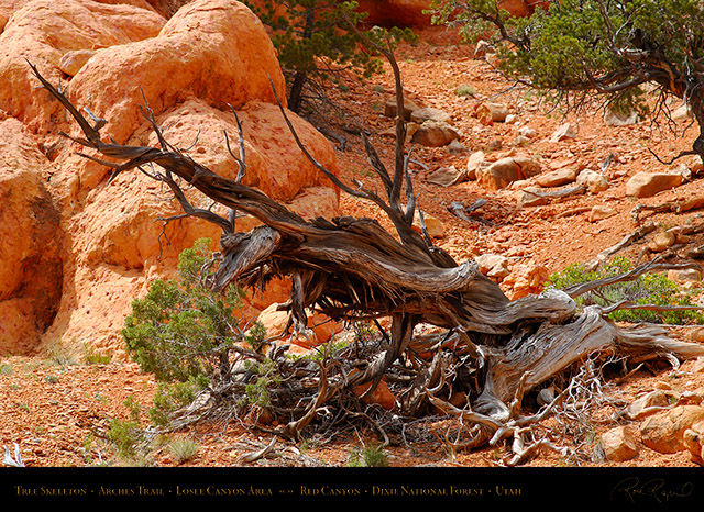 Red_Canyon_Tree_Skeleton_Arches_Trail_X2299