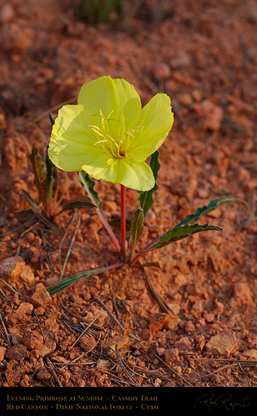 Evening_Primrose_Red_Canyon_X2164