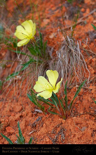Evening_Primrose_Red_Canyon_X2169