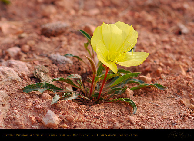 Evening_Primrose_Red_Canyon_X2174