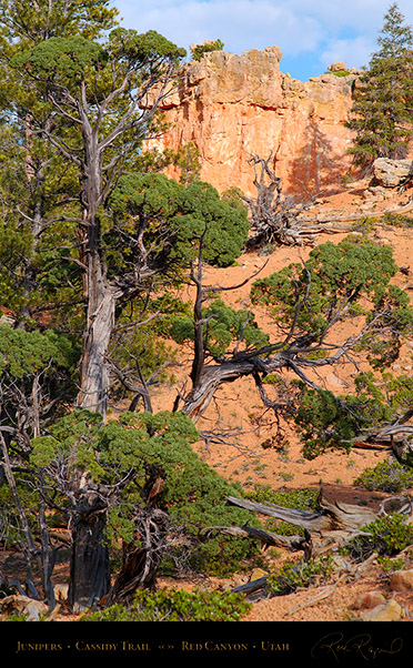 Red_Canyon_Junipers_Cassidy_Trail_X2185