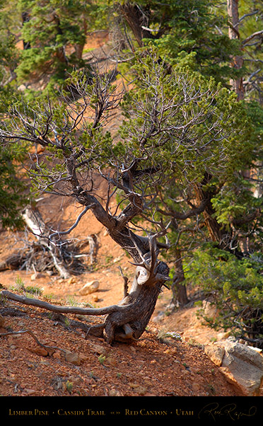 Red_Canyon_Limber_Pine_Cassidy_Trail_X2201