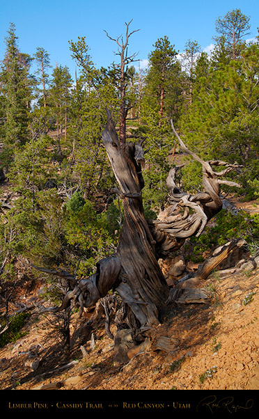 Red_Canyon_Limber_Pine_Cassidy_Trail_X2205