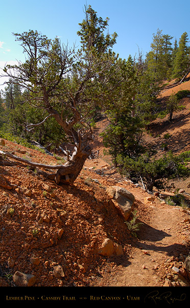Red_Canyon_Limber_Pine_Cassidy_Trail_X2239