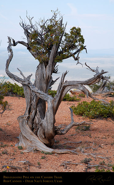 Red_Canyon_Bristlecone_Pine_Cassidy_Trail_X2214