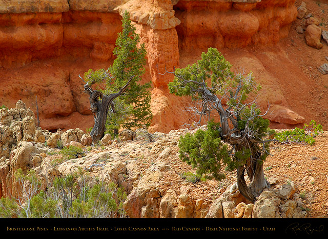 Red_Canyon_Bristlecone_Pines_Arches_Trail_X2358