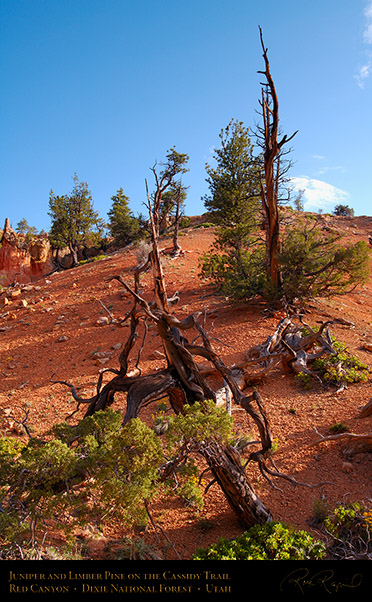 Red_Canyon_Juniper_Limber_Pine_Cassidy_Trail_X2188