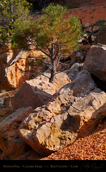 Red_Canyon_Pinyon_Pine_Cassidy_Trail_X2202