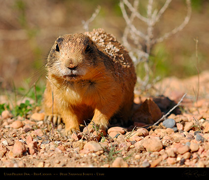 Utah_Prairie_Dog_Red_Canyon_X2262