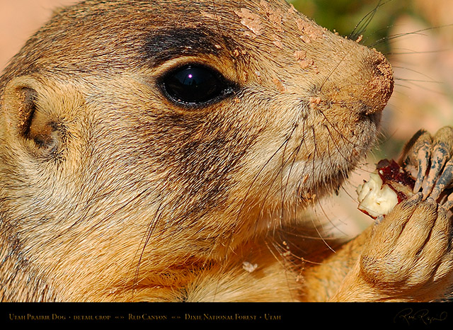 Utah_Prairie_Dog_Red_Canyon_X2267c