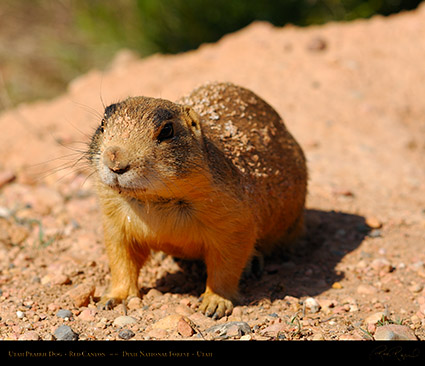 Utah_Prairie_Dog_Red_Canyon_X2287