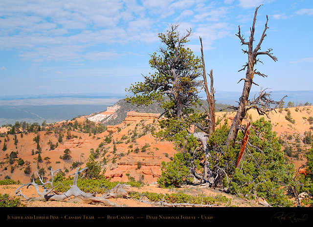 Red_Canyon_Juniper_Limber_Pine_Cassidy_Trail_X2233