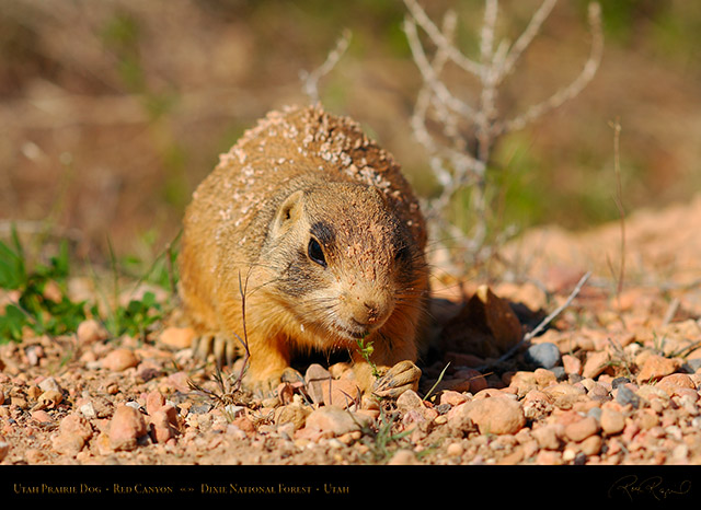Utah_Prairie_Dog_Red_Canyon_X2261