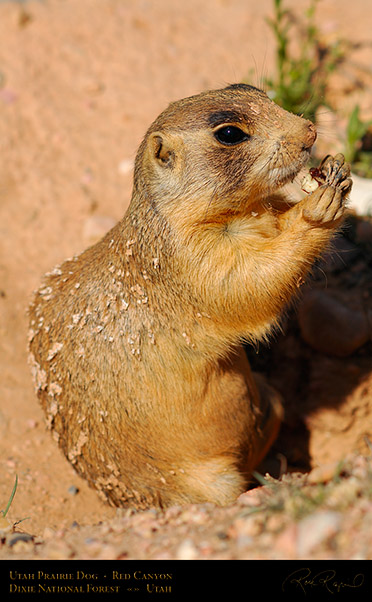 Utah_Prairie_Dog_Red_Canyon_X2267