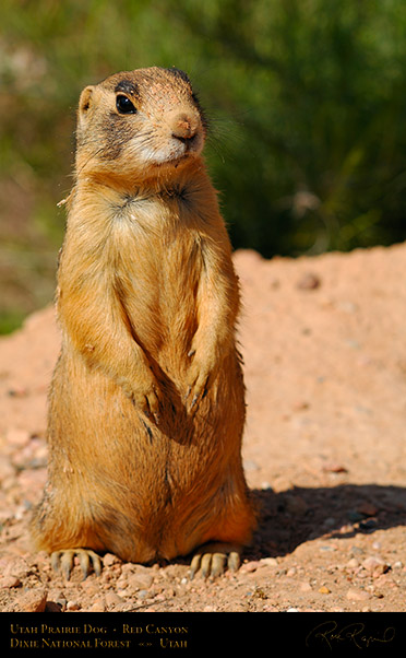 Utah_Prairie_Dog_Red_Canyon_X2288