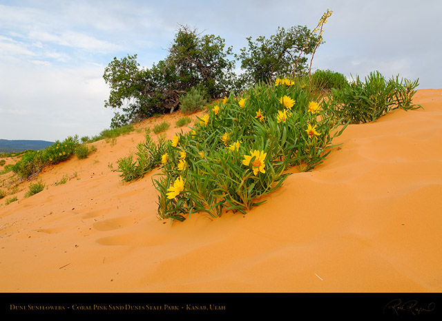 Coral_Sands_Dune_Sunflowers_X2389