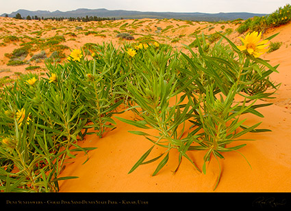 Coral_Sands_Dune_Sunflowers_X2393