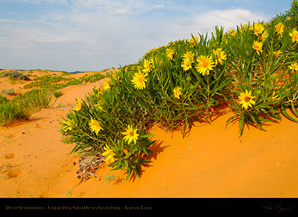 Coral_Sands_Dune_Sunflowers_X2400