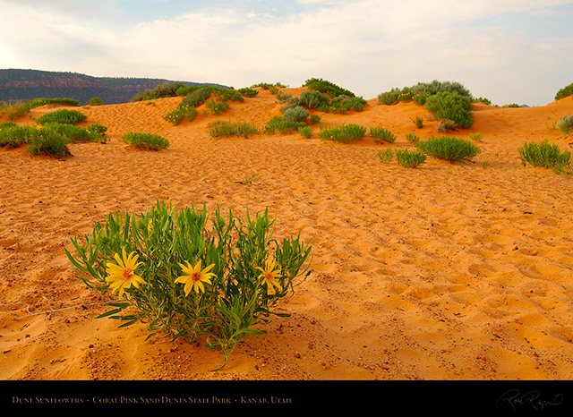 Coral_Sands_Dune_Sunflowers_X2404