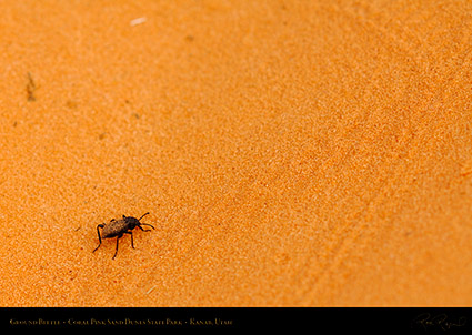 Coral_Sands_Ground_Beetle_X2413
