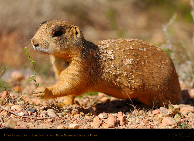 Utah_Prairie_Dog_Red_Canyon_X2263