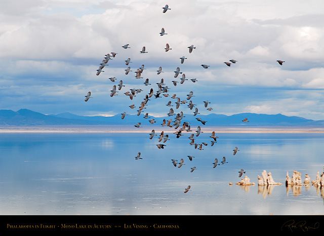 Mono_Lake_Phalaropes_Autumn_X6446