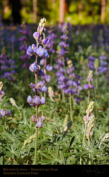 Brewers_Lupines_Mirror_Lake_Trail_3583