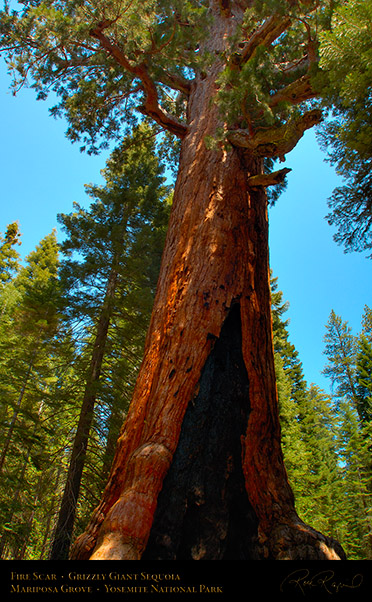 Grizzly_Giant_Sequoia_Fire_Scar_X2372