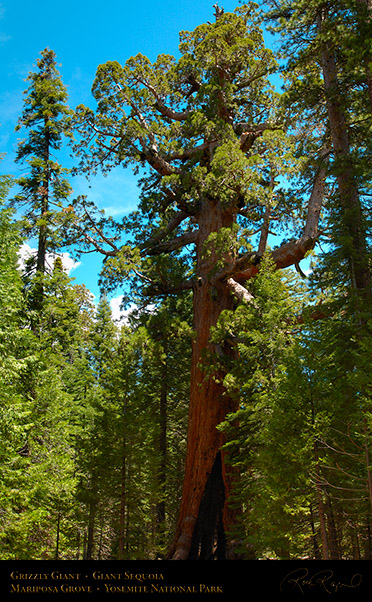 Grizzly_Giant_Sequoia_Mariposa_Grove_X0483