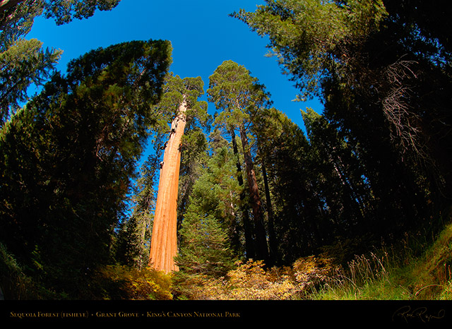 Sequoia_Forest_FE_Kings_Canyon_X6885