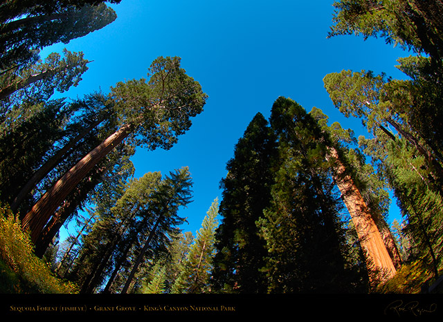 Sequoia_Forest_FE_Kings_Canyon_X6888