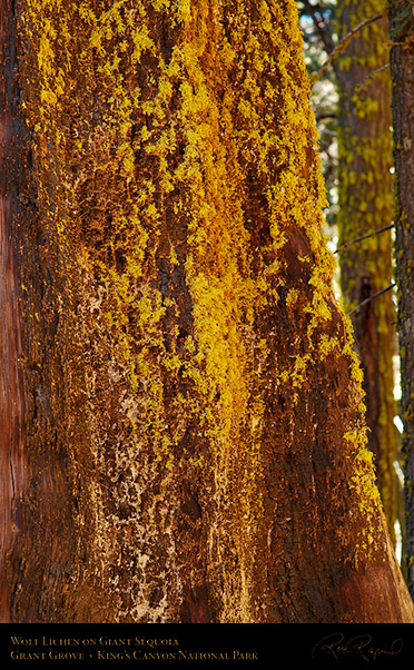 Wolf_Lichen_Sequoia_Kings_Canyon_X6940