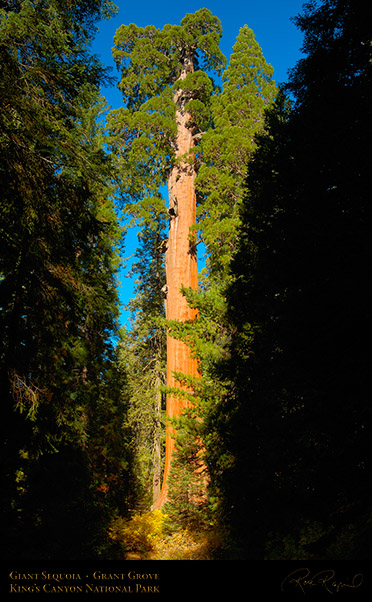 Giant_Sequoia_Kings_Canyon_X6882