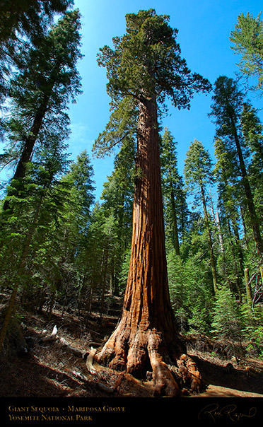 Giant_Sequoia_Mariposa_Grove_2664