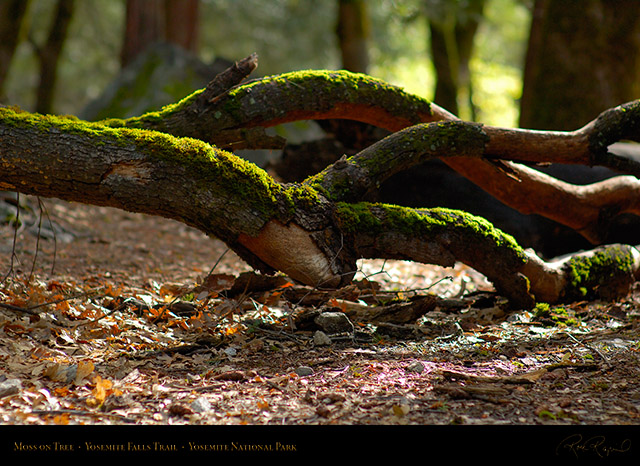 Moss_on_Tree_Yosemite_Falls_Trail_X0401
