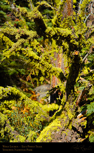 Wolf_Lichen_Taft_Point_Trail_X6774
