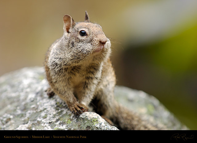 Ground_Squirrel_Full_Cheeks_Mirror_Lake_2431