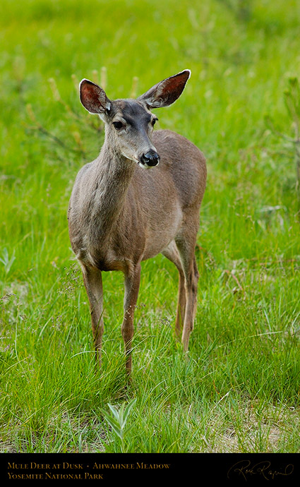 Mule_Deer_Ahwahnee_Meadow_Dusk_3646
