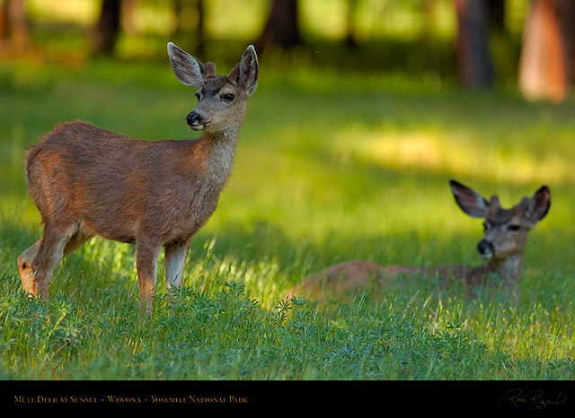 Mule_Deer_at_Sunset_Wawona_2773