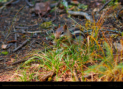 Golden_Mantle_Nesting_Taft_Point_Trail_X6679
