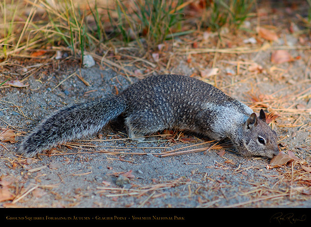 Ground_Squirrel_Foraging_Glacier_Point_X6617