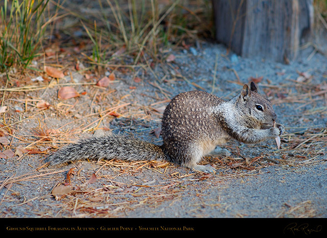 Ground_Squirrel_Foraging_Glacier_Point_X6620