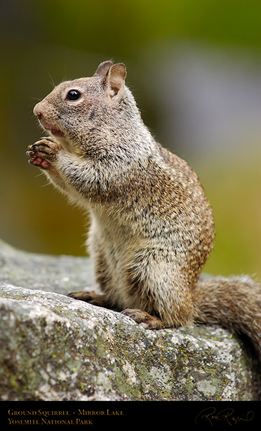 Ground_Squirrel_Full_Cheeks_Mirror_Lake_2433