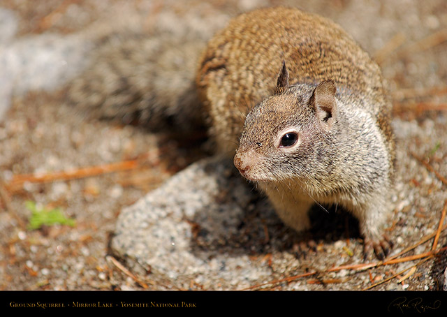 Ground_Squirrel_Mirror_Lake_2447