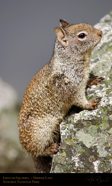 Ground_Squirrel_Mirror_Lake_2449