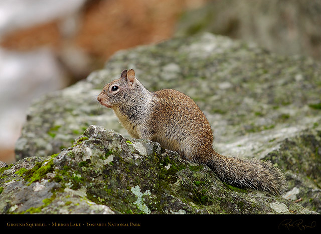Ground_Squirrel_Mirror_Lake_2450