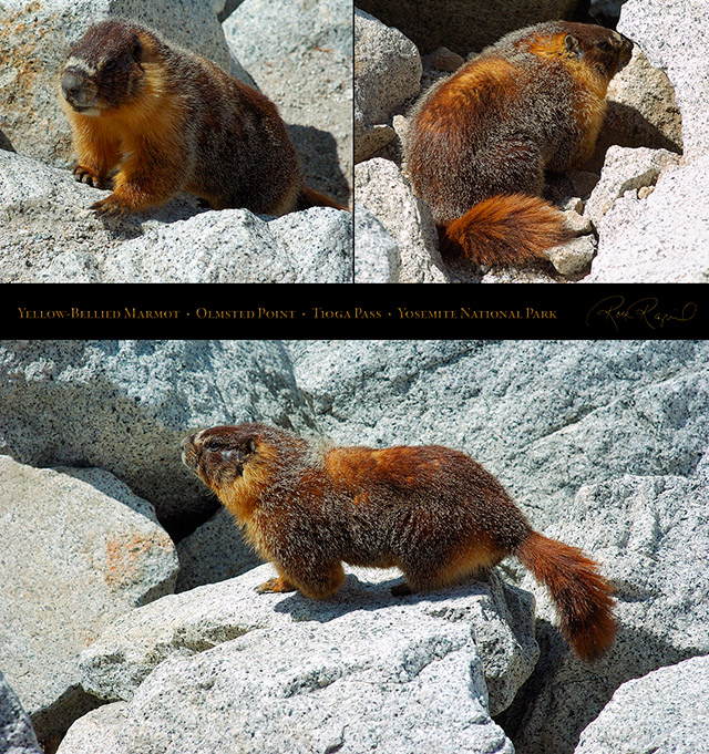 Yellow-Bellied_Marmot_Tioga_Pass