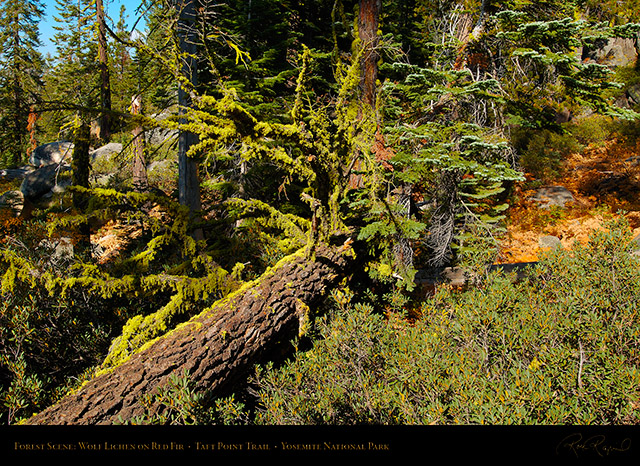 Forest_Scene_Taft_Point_Trail_X6778