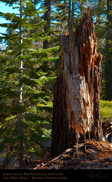 Red_Fir_Sapling_and_Stump_Taft_Point_Trail_X6665